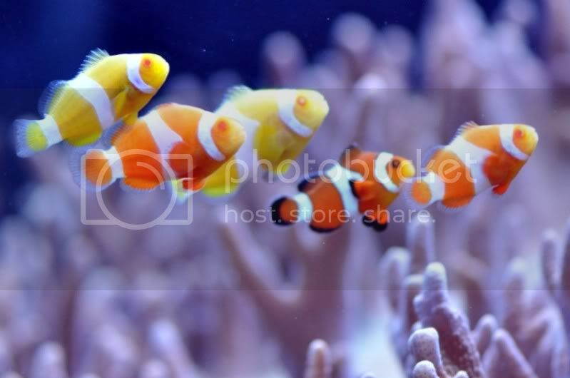 Clown3 - ~Albino Clownfish Are Coming~